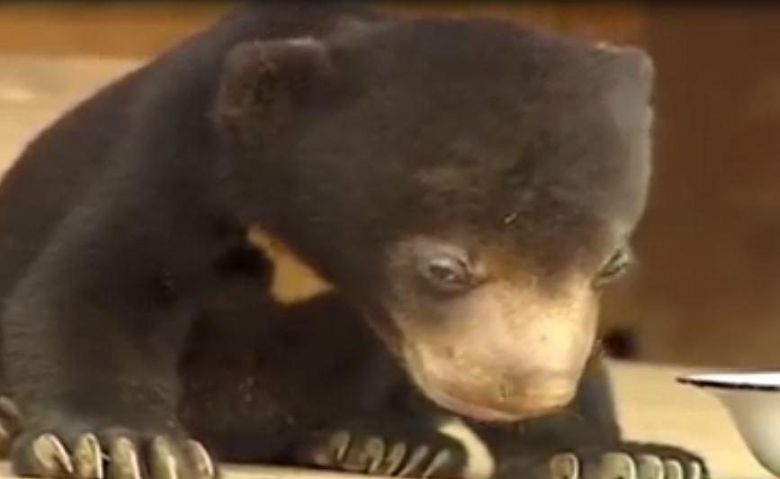 """哈哈 """"度咕"""" -好萌  (打瞌睡) Sleepy Bear Cant Stay Awake"""