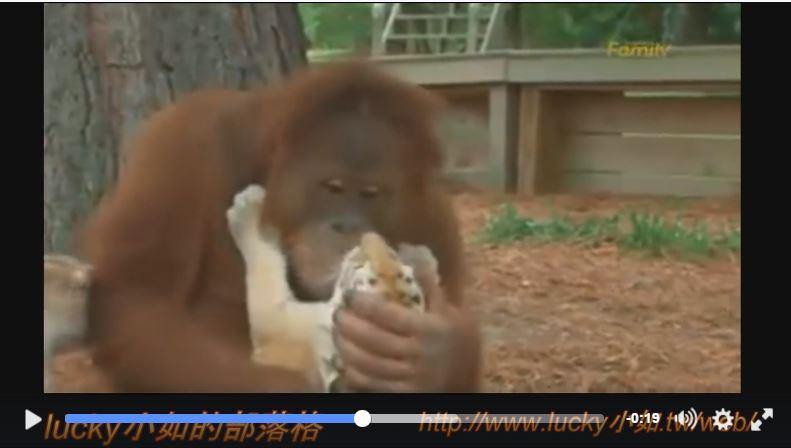 """這隻""""猩猩"""" 可以去應徵保母了! 還會餵奶瓶 ~ 呵呵"""