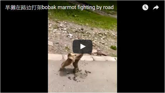 旱獺在路邊打架bobak marmot fighting by road
