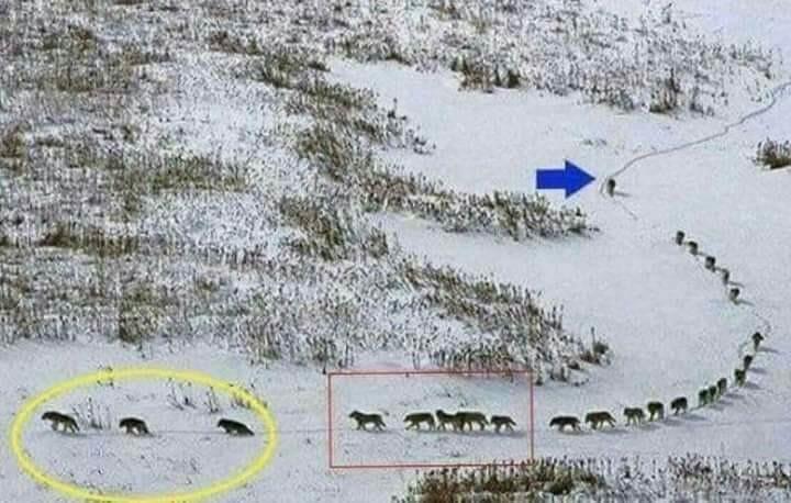 狼群 團結無私的精神讓人敬佩 !