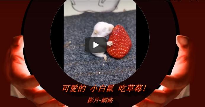 可愛的小白鼠 吃草莓喔!